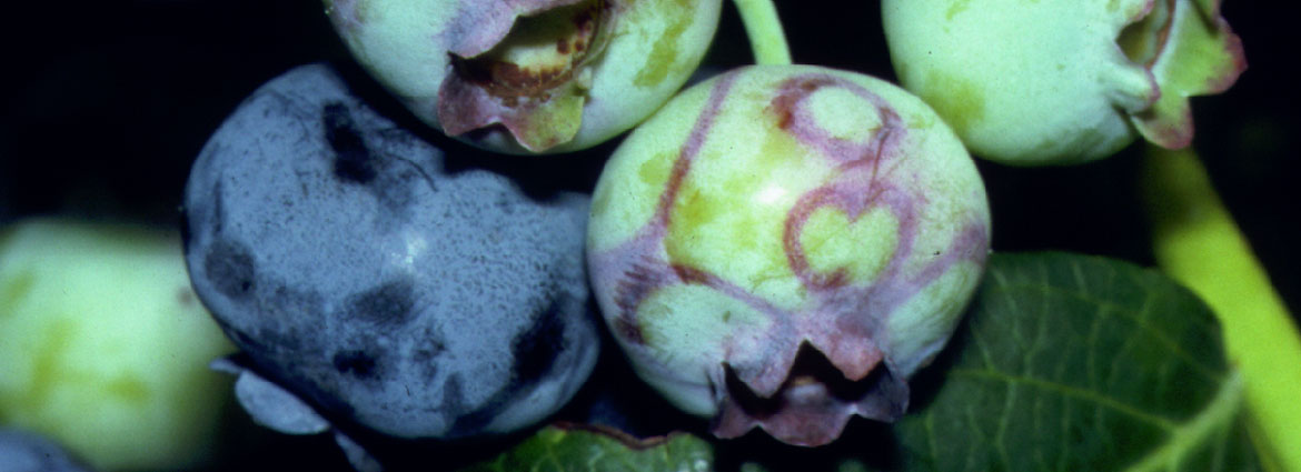 Ringspot on blueberry fruit - Image courtesy of Peter Oudemans