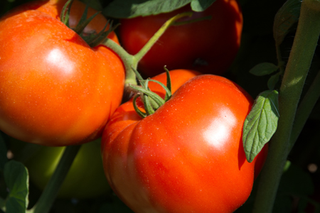 Photo: Rutgers 250 Tomato. Image Courtesy of Peter Nitzsche.