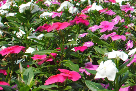 Photo: rosy periwinkle (Catharanthus roseus), the source of the anti-cancer compound vincristine